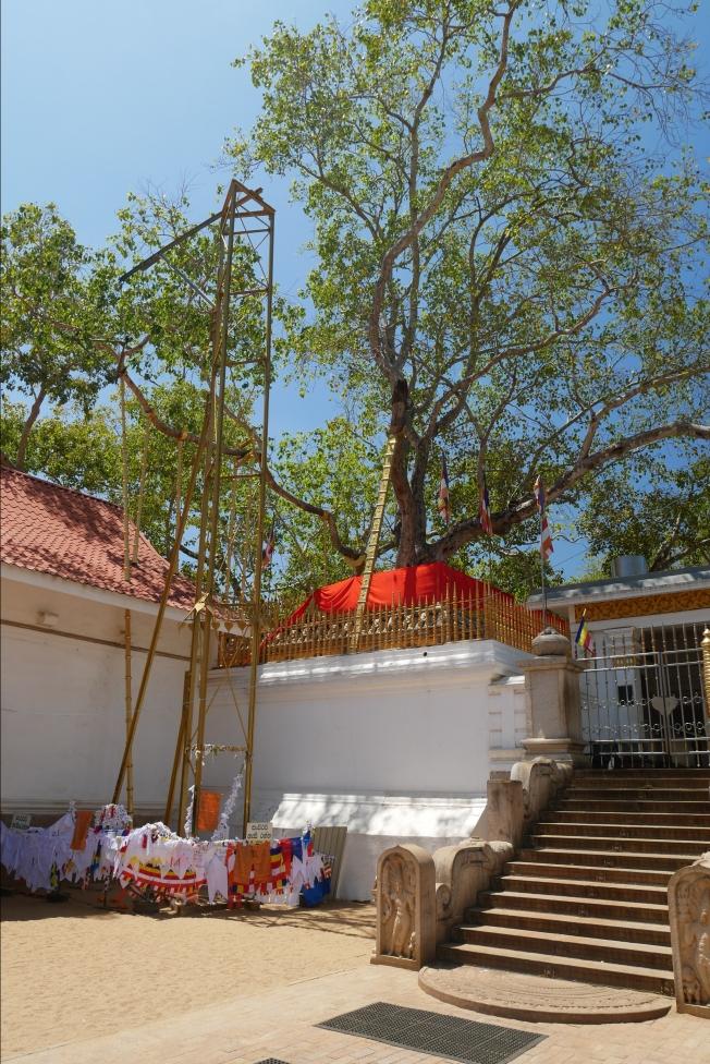 Sri Maha Bodhi Tree